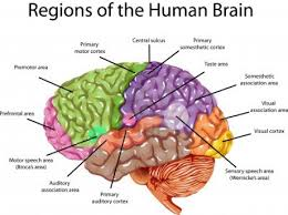 The Anatomy Of The Human Brain The Brain Is Much More Active At Night Than During The Day