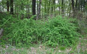 mississippi native plants escape of the invasives top six invasive plant species in the