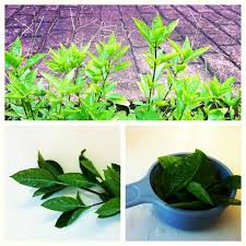 10 Vegetables U0026 Herbs You by 172 Best Regrow Images On Pinterest Organic Gardening Scrap And