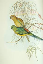 swift parrot look a likes 3 the wing thing woodland birds