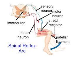 Knee Reflex Arc Spinal Cord U0026 Nerves