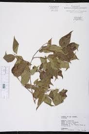 native plants fort myers celtis laevigata species page isb atlas of florida plants
