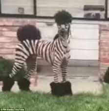 zebra poodle runs around yard in san francisco daily mail online