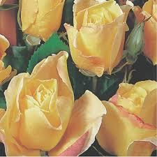 clg golden showers 3 5l climbing u0026 rambling roses roses