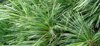 white pine wilcox tree farm
