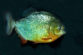piranhas for sale at aquariumfish net a tropical fish store