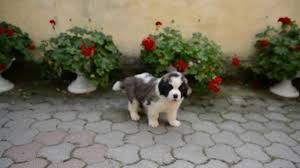australian shepherd zu verkaufen tammy bernhardiner puppy for sale euro puppy