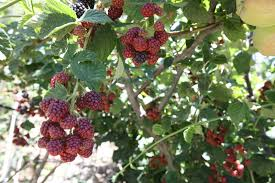 fruit by mail a guide to summer fruit cyprus mail