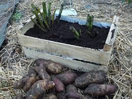 poire de terre cuisine la poire de terre ou yacon culture entretien consommation