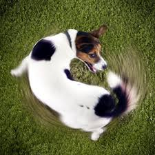 Why Do Dogs Lick The Sofa Tail Biting In Dogs What Are The Causes