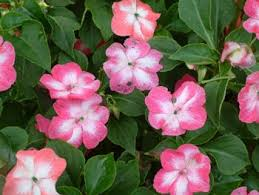 Fragrant Shade Plants - shade plants and flowers flower impatiens fragrant
