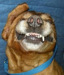 australian shepherd tan cuteness german black and tan coonhound pitbull mix shepard beagle