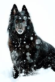 belgian sheepdog art majestic belgian shepherd dog groenendael dog photography puppy