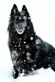 belgian sheepdog traits majestic belgian shepherd dog groenendael dog photography puppy