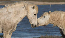 camargue white horse wallpapers white horses of camargue france stock photo image 54647617