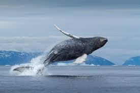 animals of greenland whales seals polar bears visit greenland