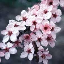 j frank schmidt co flowering plums