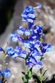 native plants of idaho 46 best wild flowers images on pinterest wild flowers idaho and