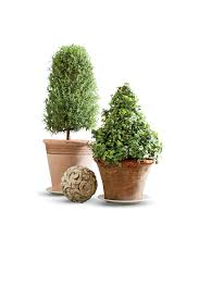 potted topiary trees for winter southern living