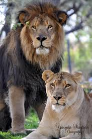 25 lion couple ideas lion lion love lion