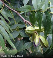 buy affordable pecan trees at our nursery