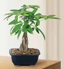 amazon com brussel u0027s money tree bonsai small indoor patio
