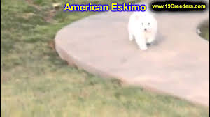 american eskimo dog jack russell mix american eskimo puppies for sale in duluth minnesota county