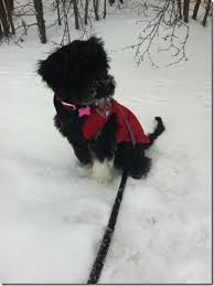 affenpinscher ottawa our clients portuguese water dogs kyessiline kennels