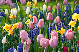 Ideas For Daffodil Varieties Design How Many Bulbs For That Designing With Fall Planted Bulbs