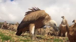 Seeking Vulture Sheep Seeking Food Snow Mountain Winter Landscape Stock