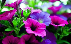 Pictures Of Flowers by Purple Flowers Free Download Clip Art Free Clip Art On