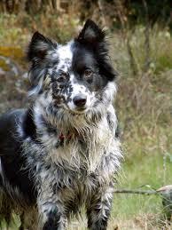 australian shepherd dalmatian mix best 20 collie mix ideas on pinterest border collie mix dogs