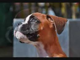 1 year old boxer dog ollie the boxer happy birthday 1 year old youtube