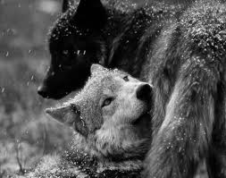 black and white wolf 37 desktop background hdblackwallpaper com
