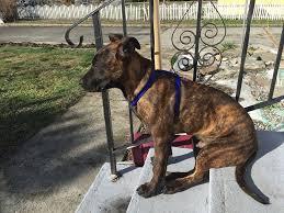 9 month old belgian malinois update stolen penticton puppy retuned to owner infonews ca