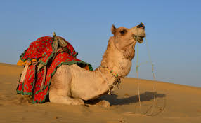 thar desert animals file dromedary in thar desert jpg wikimedia commons