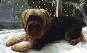 calling all yorkie owners yorkie haircut pics please purseforum