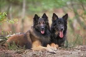 belgian sheepdog types everything top dog belgian sheepdog