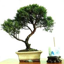 indoor bonsai trees sale promotion shop for promotional indoor