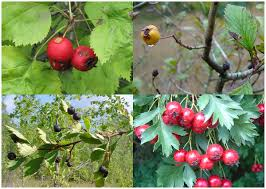 native plants of michigan crataegus wikipedia