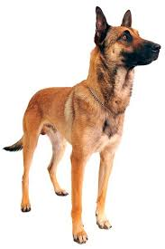 belgian shepherd breeds 25 best belgian malinois breeders ideas on pinterest belgian