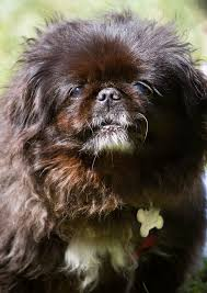 affenpinscher hawaii daisy margherita u2013 bobbi and the strays pet rescue