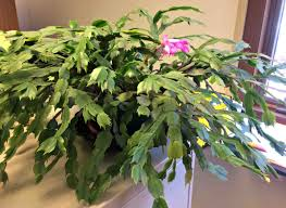 houseplants helping houseplants brighten a long midwestern winter wiscontext