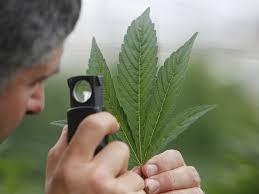 nissan canada inc case analysis study marijuana may reduce use business insider