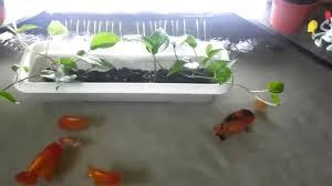 indoor mini ranchu pond youtube