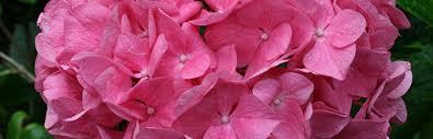 perennial flowers gardening solutions university of florida