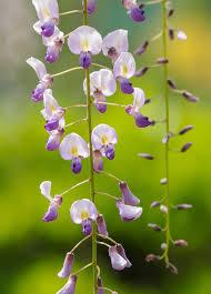 japanese wisteria san diego zoo animals u0026 plants