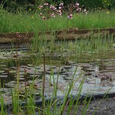 native uk pond plants pink flowering rush butomus umbellatus native shallow water