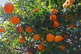 What Fruit Trees Grow In Texas - arctic frost satsuma mandarin hybrid named new texas superstar