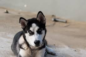 free images vertebrate dog breed sled dog siberian husky